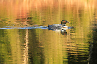 """""""Loon Reflections""""<br /> <br /> Sharing an early morning paddle with loons is the perfect way to begin the day. Lake Two in the Boundary Waters Canoe Area Wilderness (BWCAW)."""