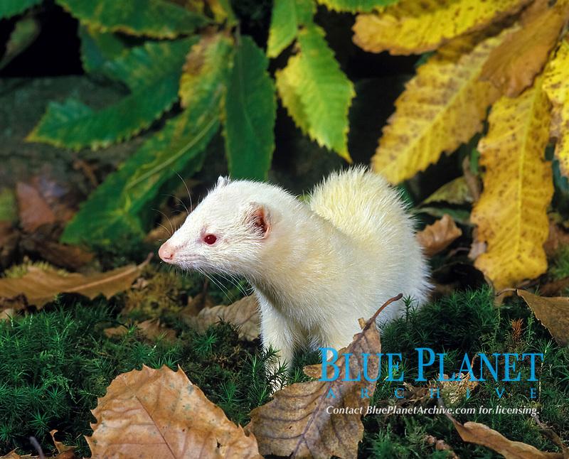 albino ferret, Mustela putorius furo, domesticated form of European polecat, Mustela putorius, adult among leaves, Normandy, France, Europe