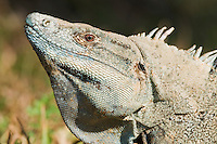 Black spiny-tailed iguana, Ctenosaura similis, on the grounds of Punta Leona Hotel and Resort, Costa Rica