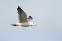 Vega Gull (Larus vegae) in flight. Chukotka, Russia. May.