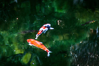 Slow camera shutter speed turns two koi, swimming in the pond, into two colorful flowing abstracts on a bright green canvas.