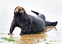 southern sea otter, Enhydra lutris nereis, aka California sea otter, hauling out on the beaching, Moss Landing, Monterey Bay National Marine Sanctuary, Monterey, California, USA, Pacific Ocean