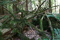 Totholz in einem Wald als Lebensraum für Tiere, Moos, naturnaher Wald