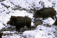 Wild zwijn (Sus scrofa) in de winter