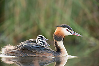 great crested grebe, Podiceps cristatus, adult female, mother carrying her chicks on her back in a swamp, Dombes, Ain, France, Europe