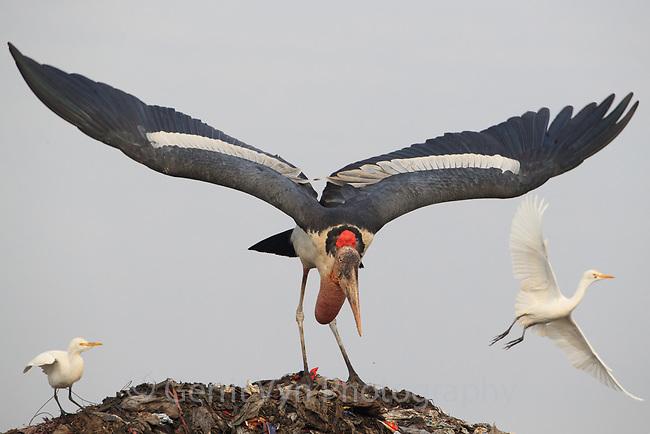 Adult Greater Adjutant preparing to take flight in the Boragaon Landfill. Assam, India. December.