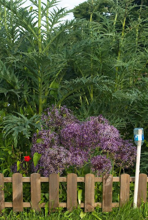 Allium atropurpureum in front of cardoons, mid June.