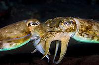 broadclub cuttlefish, Sepia latimanus, mating, Tulamben, Bali, Indonesia, Pacific Ocean