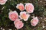 THE YEOMAN ROSE, ROSA HYBRID BY DAVID AUSTIN