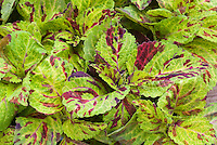 Solenostemon 'Wizard Mosaic'  (Coleus) annual foliage plant with mottled patterned green and red speckled boldly marked leaves