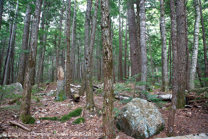Hemlock Forest during the summer months in Albany, New Hampshire USA.