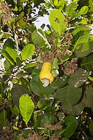 Yellow Cashew Apple in Tree with Cashew Nut, near Sokone, Senegal