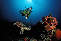 scuba diver and a hawksbill turtle, Eretmochelys imbricata, Bali, Indian Ocean, Indonesia