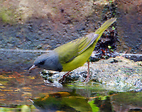 Adult male mourning warbler preparing to bathe in water feature in fall migration
