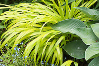 Hakenochloa macra 'Allgold' aka 'All Gold', Hosta 'Hadspen Blue', Forget-me-not Myosotis in blue flowers in spring