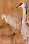 Sandhill Crane (Grus canadensis) pair, Bosque del Apache National Wildlife Refuge, New Mexico