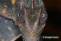 CH51-716z Female Veiled Chameleon, note eye rotation, Chamaeleo calyptratus