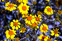 Beautiful, yellow Woolly Daisy flowers close-up with purple background, blooming during springtime in Anza-Borrego Desert State Park, California, USA