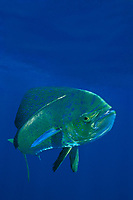 game fish, mahi mahi, dorado or dolphinfish Coryphaena hippurus, La Guaira Bank, Venezuela, South America, Caribbean, Atlantic (c, dm)