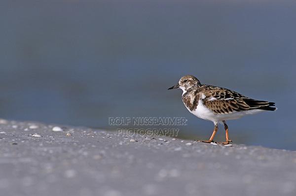 Ruddy Turnstone, Arenaria interpres, adult winter plumage, Sanibel Island, Florida, USA