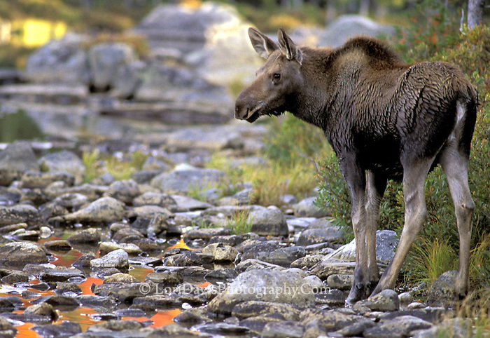 #M6 Yearling Moose & Autumn Reflections