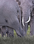 Kenya, Chyulu Hills National Park, African elephant (Loxodonta africana)