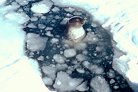 Weddell seal, Leptonychotes weddellii, in ice hole, McMurdo Sound, Antarctica