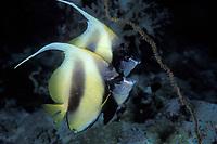 Red Sea bannerfish, Heniochus intermedius, Red Sea