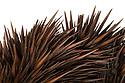 Echidna (Tachyglossidae) spines. museum specimen. website
