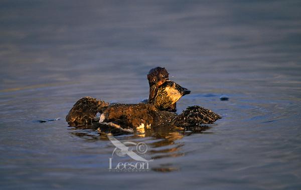 Mink attacking Canada goose..Pacific Coast, North America. .Predator-Prey. (Mustela vison).