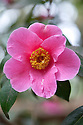 Camellia x williamsii 'Charles Michael' (japonica x saluenensis), mid March.
