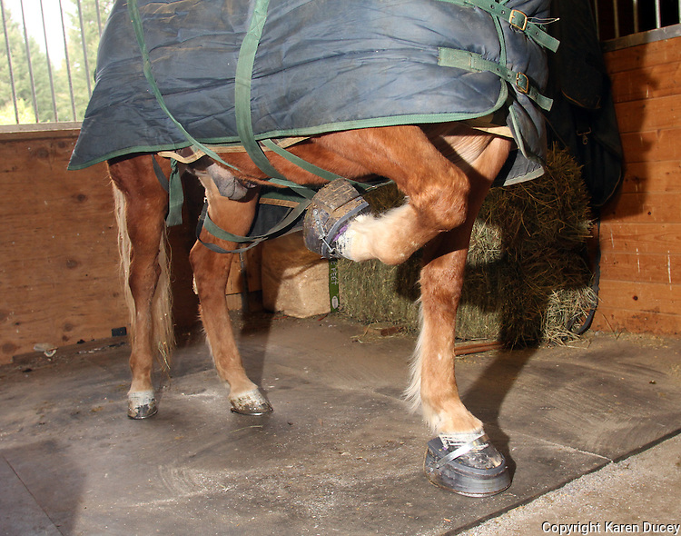 See My Magic, a Tennessee Walking horse, holds up his hoof moments after his shoes were put on by Todd Graham Horseshoeing in Roy, Wash. He has worn performance shoes made of hard plastic and rubber since he was 18 months old. (© Karen Ducey Photography)