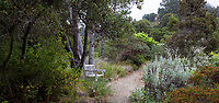 Bench by path in naturalistic habitiat garden with Cupressus macnabiana Macnab Cypress trees; California Native plant section of University of California Berkeley Botanical Garden