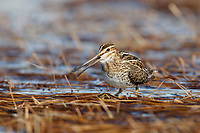 Common Snipe (Gallinago gallinago) vocalizing in a tundra wetland. Chukotka, Russia. June.