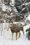 A buck stands in the falling December snow in Northwest Wyoming; a second buck peeks below snow-laden branches in the trees behind.