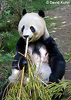 0502-1007  Female Giant Panda Eating Bamboo at San Diego Zoo, Ailuropoda melanoleuca  © David Kuhn/Dwight Kuhn Photography.