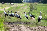 Weißstorch, Weiß-Storch, Weissstorch, Storch, Ansammlung von Störchen auf einer Wiese, Weidefläche, Ciconia ciconia, White Stork, Cigogne blanche