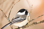 Black-capped chickadee on a cold winter day in northern Wisconsin.