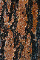 Ponderosa Pine (Pinus Ponderosa) Bark, Lake Chelan National Recreation Area, North Cascades National Park, Stehekin, Washington, US, June 2007