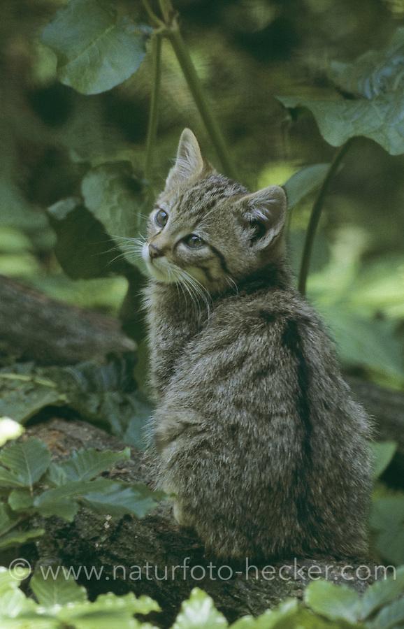 Wildkatze, Wild-Katze, Jungtier, Kätzchen, Katze, Felis silvestris, wild cat, Wildtier des Jahres 2018