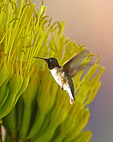 Male black-chinned hummingbird at century plant bloom. At the time, late August, this was the only century plant in bloom in the area and a very large number of humming birds were feeding at it.