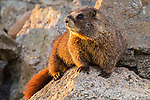A marmot enjoys sunset along Trail Ridge Road, Rocky Mountain National Park.<br /> Outside Imagery offers photo tours and hikes in Rocky Mountain National Park, year-round.