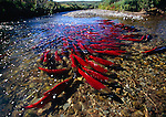 Crystal clear waters of Funnel Creek, on the Alaska Peninsula, reveal a school of sockeye or red salmon who have not yet reached their spawning grounds.