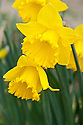 Daffodil (Narcissus 'Cornish Sun'), a Division 2 Large-cupped variety, mid February.