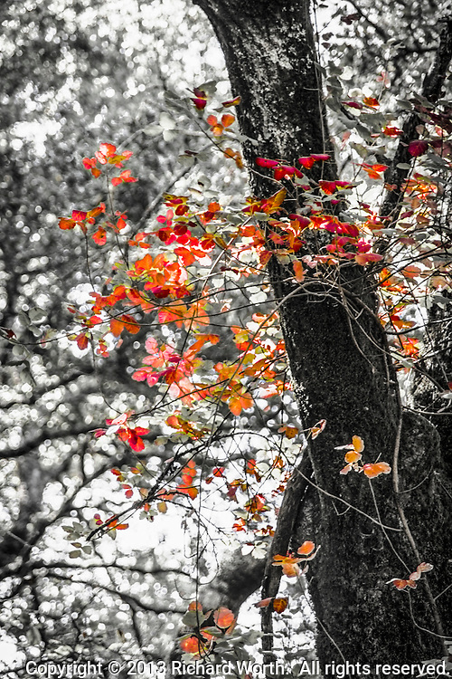The illusion of red leaves swirling 'round a tree in a black and white, enchanted forest.  In fact, a vine is loosely wrapped around a tree and its bright red leaves catch the light from behind.  Illusion?  Enchanted forest?
