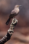 Curve-billed Thrasher perched on a dead stick.