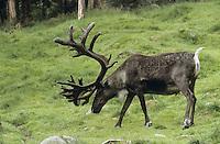 Rentier, Ren-Tier, Europäisches Ren, Männchen, Bulle, domestiziert, Rangifer tarandus, reindeer, Tundrarentier, Tundra-Rentier, Karibu, caribou, Nord-Norwegen