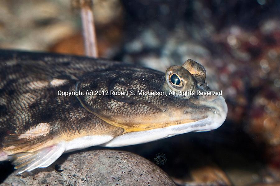 winter flounder close-up shot facing right, pseudopleuronectes americanus, fish, north atlantic