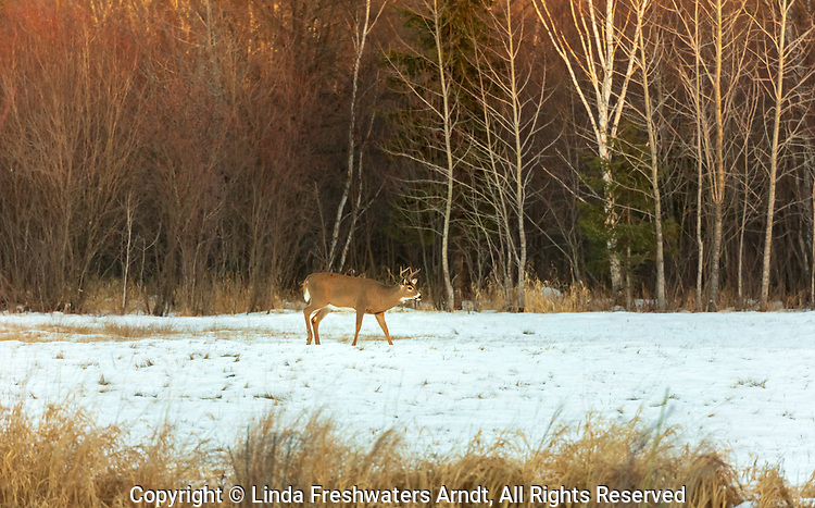 White-tailed buck walking in a snow-covered field.