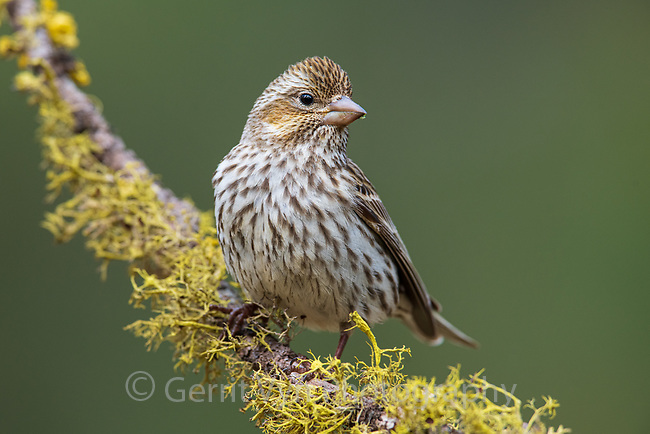 Cassin's Finch (Haemorhous cassinii). Deschutes National Forest, Oregon. May.